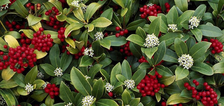 Anche in autunno sbocciano i fiori giardango for Skimmia pianta
