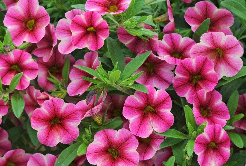 Petunia-Calibrachoa