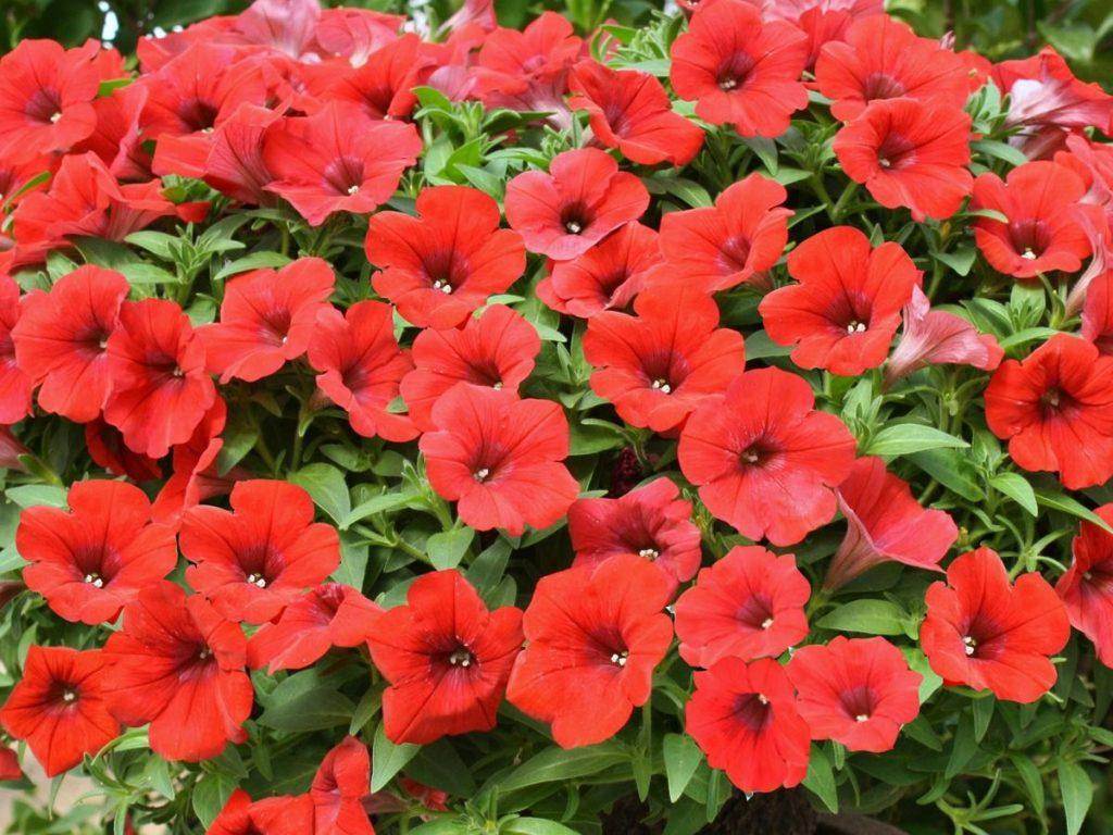 Un mondo di colore le petunie garden giardango for Fiori da esterno