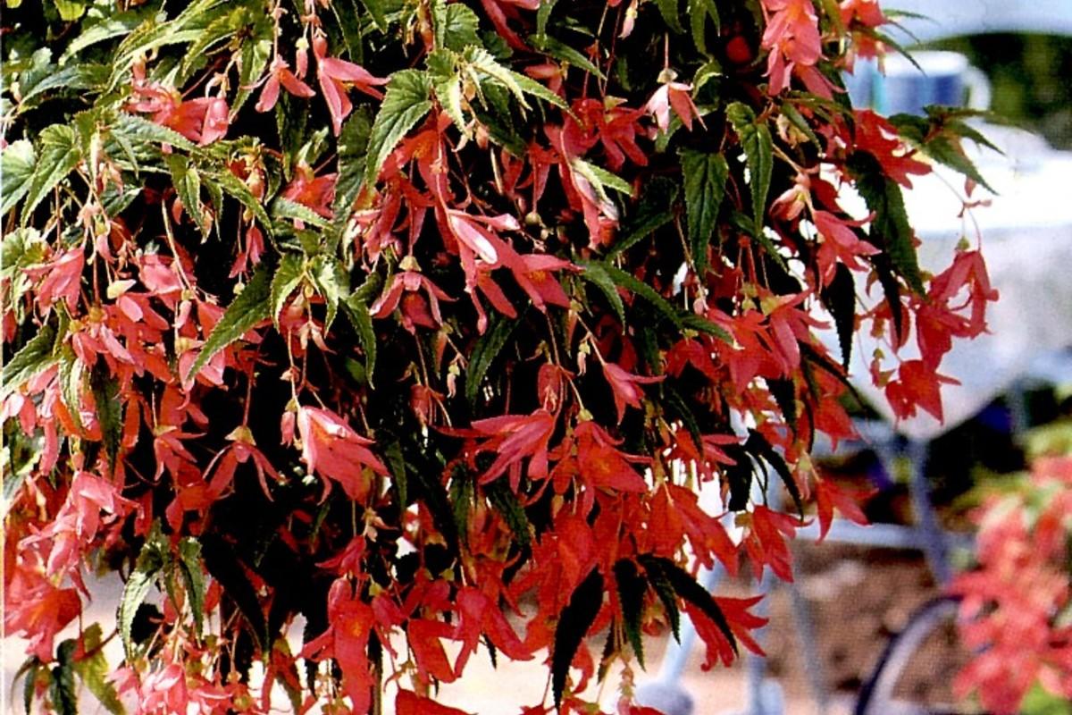 Cura della begonia tutti i segreti giardango for Begonia pianta