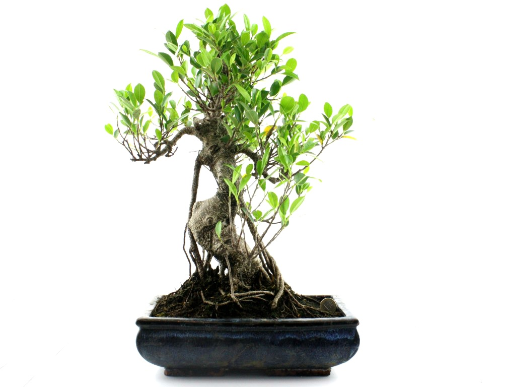 Bonsai-Ficus-Retusa