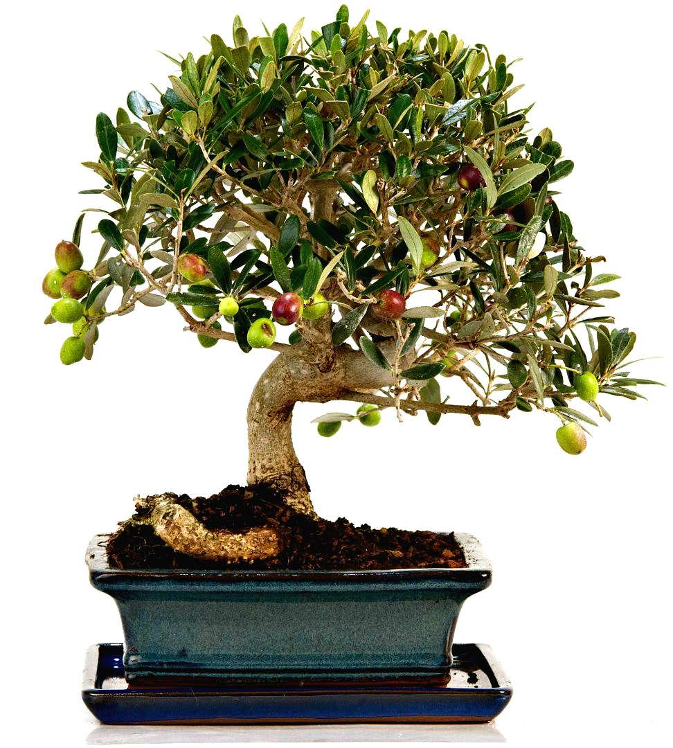 Bonsai mantenimento e cura giardango - Cura dei bonsai in casa ...