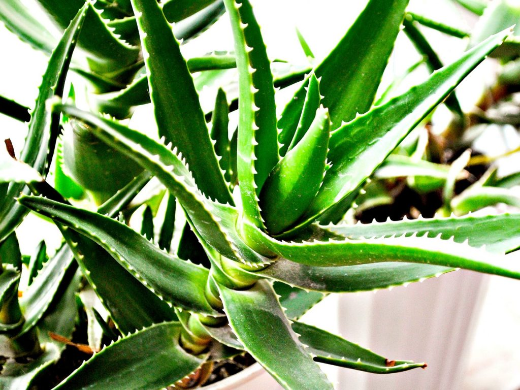 Piante grasse consigli e suggerimenti giardango for Solo piante