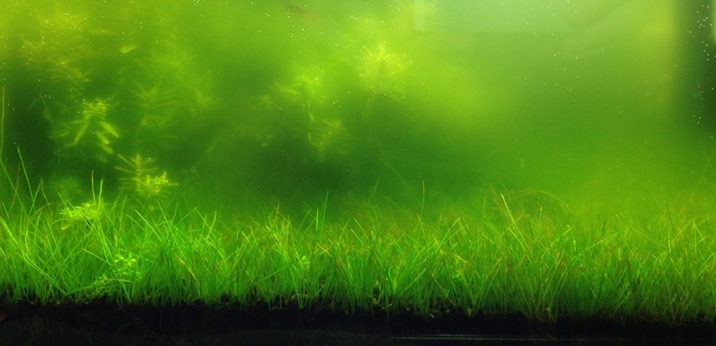 Come posso eliminare l acqua verde nel mio acquario for Alghe laghetto