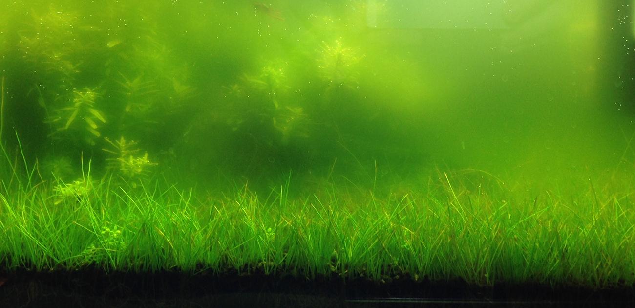 Come posso eliminare l acqua verde nel mio acquario for Acqua acquario