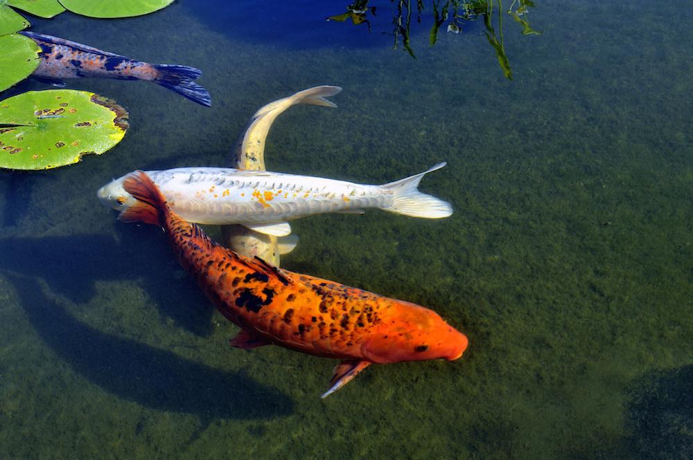 Jbl propond neo index l 39 alimentazione professionale dei for Riproduzione pesci rossi in laghetto