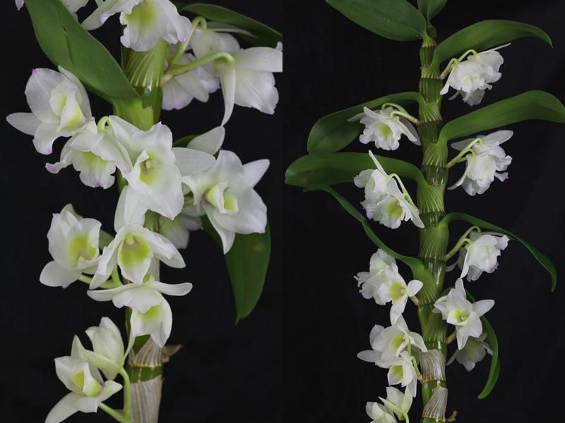 orchidee-dendrobium-nobile-da-giardango