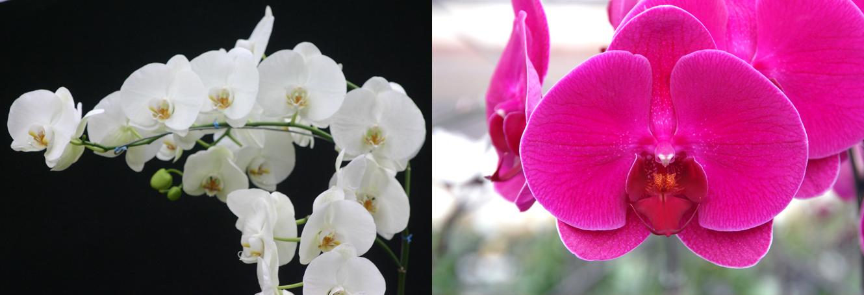 Orchidee Da Esterno.Come Curare Le Orchidee Tutti I Segreti Giardango